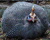 A fluffy Helmeted Guineafowl
