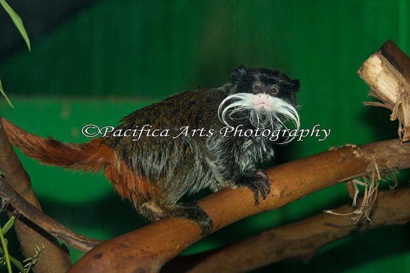 Emperor Tamarin, a very cute little monkey!