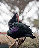 Waldrapp Ibis, doing a little preening.  When the light hits the feathers, they are full of colors!
