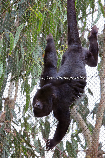 Here's the younger Black Howler Monkey, almost all grown now.