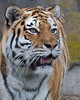 """Martha"", a beautiful Amur (Siberian) Tiger"