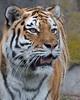 """Martha"", a beautiful Amur (Siberian) Tiger"