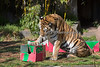 Martha picks a box and trys to figure out a way to get inside. (Siberian Tiger)