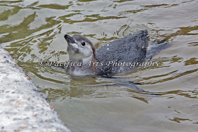 March of the Penguins - 2013!  This is the first swim in the big pool for for this young male Magellanic Penguin chick.  This little cutie was named George Alexander Louis!