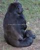 Bawang eats acacia leaves while Kabibe rests in Grandma's lap.
