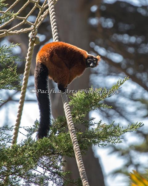 Red Ruffed Lemur climbing the ropes.