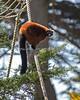 Red Ruffed Lemur climbing the ropes.