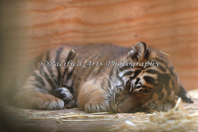 After coming out to play for about an hour, little 5-week old baby Tiger curls up for a nap.  This was a close as I could get, because Mom Leanne was there, and keeping a good watch over her baby (Sumatran Tiger baby, Jillian)