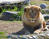 Jahari, the most photogenic Lion. (African Lion)