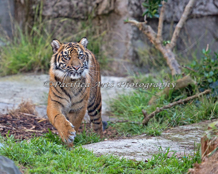 Jillian, a Sumatran Tiger cub.  She's 8 1/2 months in this photo.