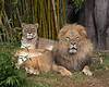 African Lions, Sukari & Jahari (Amanzi is between them, sleeping)