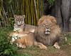 African Lions, Sukari & Jahari (Amanzi is between them, sleeping)
