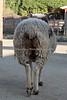 Jacob Sheep - San Francisco Zoo - Children's Zoo