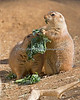 Two Black-tailed Prairie Dogs, sharing a snack.