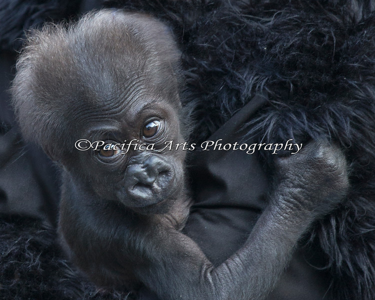 Yet to be named, 3 month old baby Western Lowland Gorilla