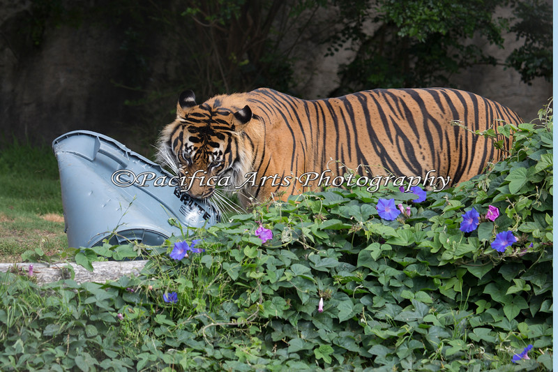 Larry, playing with one of the Plastic containers. (Sumatran Tiger)