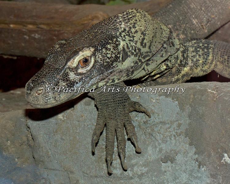 "Komodo Dragon, ""Big Daddy Bahasa"" pauses to look a the visitors."