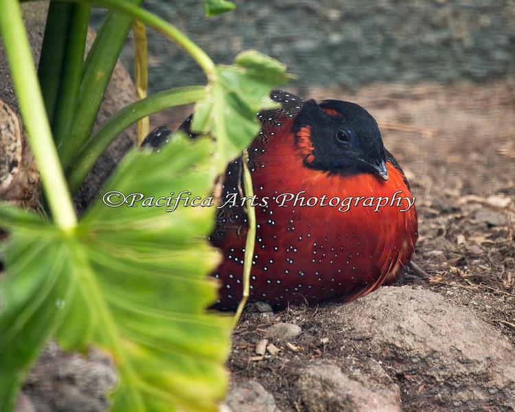 New bird on the block, a Satyr Tragopan