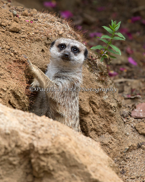 One of the Meerkats, popping up out of its tunnel