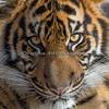 """""""Baby Face""""  (Jillian, a Sumatran Tiger cub)"""
