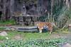 Martha, an Amur Tiger near the water hole.  It looks like someone left her a small white pumpkin on the shelf.