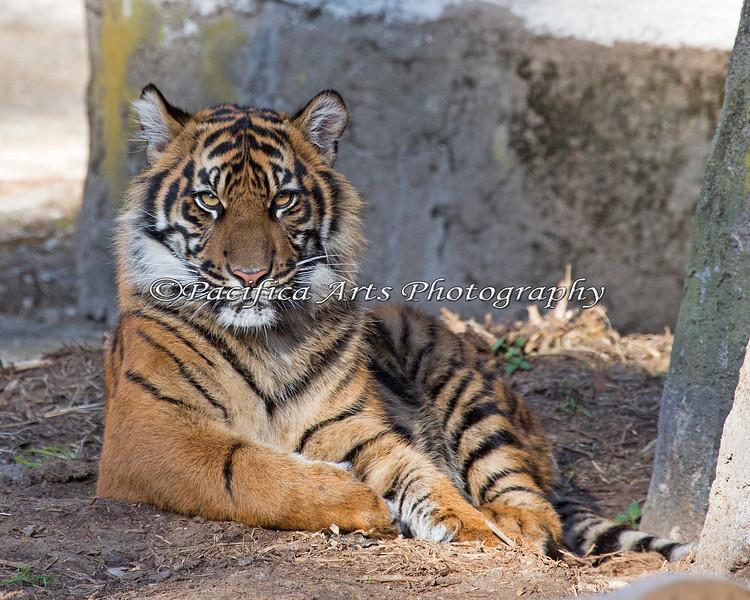 When they pose like this, I just keep clicking! (Sumatran Tiger cub, Jillian)