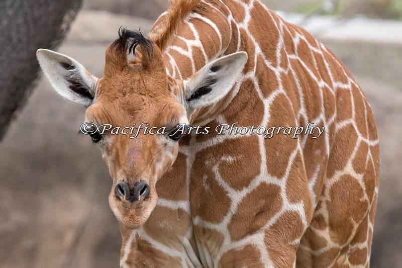"""""""Hey, how come your neck is so short?!"""" (Erin, a 5 week old, baby Reticulated Giraffe)"""