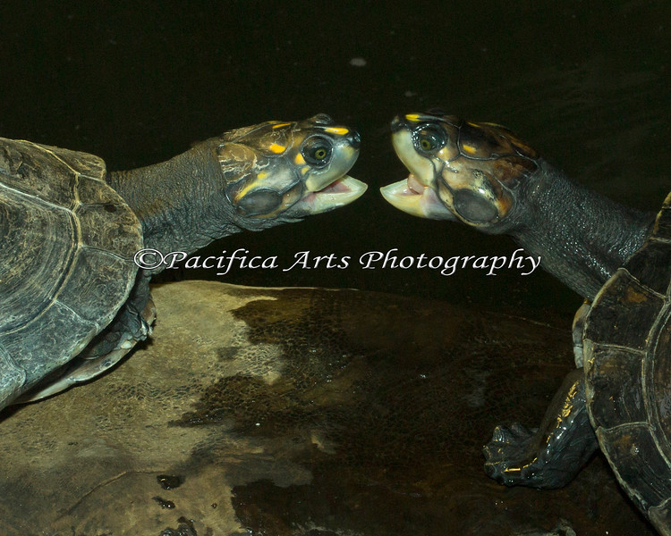 Yellow-spotted Amazon River Turtles, sparring over a place on the log. Even though there was plenty of room on the log, the three turtles would push each other off in turn, and then come back around, and shove the other one off.  In the end, they were all able to find a spot on the same log.