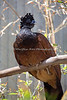 Great Curassow - female
