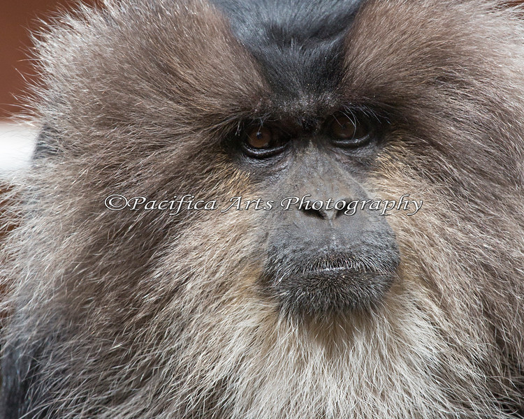 Close-up of a Lion-tailed Macaque
