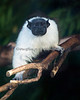 This Pied Tamarin finds the visitors interesting also!