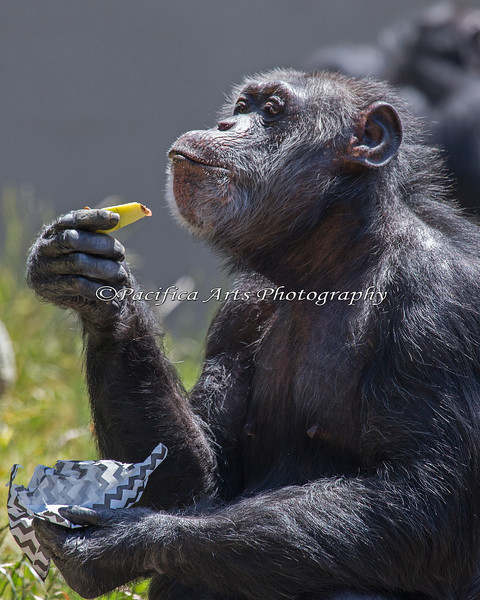 Chimpanzee, Minnie, at her Thank you Party.  The chimpanzees fine dined on Watermellon!