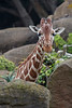 Female Reticulated Giraffe, Kristin