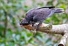 Lesser Vasa Parrot or Black Parrot.  You can find this bird in the African Aviary.