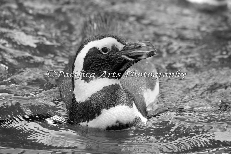 Magellanic Penguin in the pool