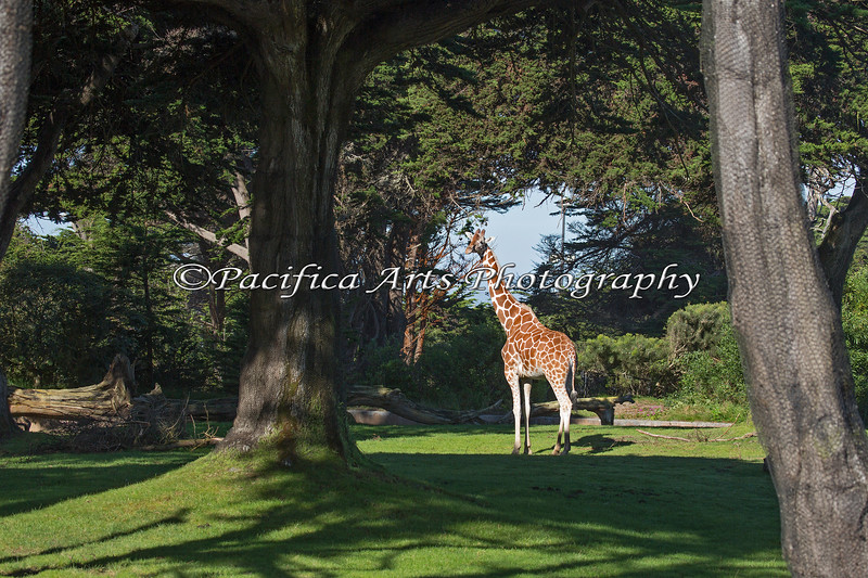 Female Reticulated Giraffe