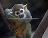 Such a cute little Squirrel Monkey!
