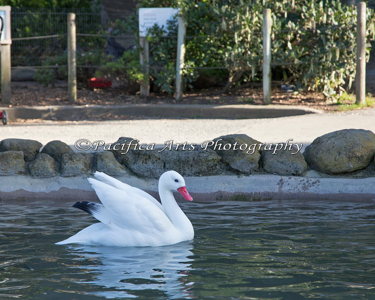 Coscoroba Swan at the Children's Zoo pond.