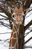 Here's a newcomer from Albuquerque, a young female Reticulated Giraffe, Eve.