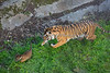 """Can't catch me!!!"" (Sumatran Tiger, Leanne & her cub, Jillian)"