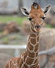 Erin, at almost 6 weeks (Reticulated Giraffe)