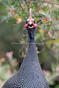 This Helmeted Guineafowl has a thing or two to say!