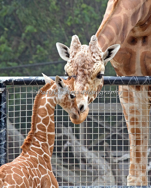 Father and daughter, Erin & Floyd (Reticulated Giraffe)