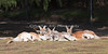 A mob of Red Kangaroos, lounging in the sun