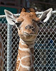 Baby Erin tries munching on some greens. (Reticulated Giraffe - about 8 days old)