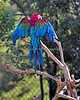 Pepe, a Green-winged Macaw, stretching his wings