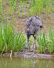 Greater Rhea getting a drink at the pond