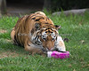 Martha, a Siberian Tiger, investigates a box, with treats hidden inside.