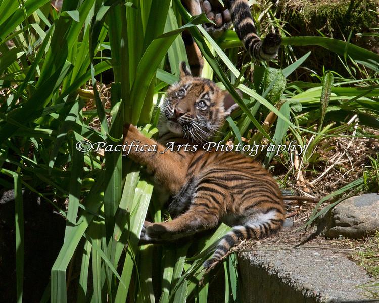 Little Sumatran Tiger cub, Jillian playing with the grass.