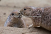 """Not now - people are watching!""  (Black-tailed Prairie Dogs)"